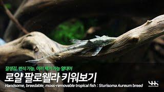 [자막] 로얄 팔로웰라 키워보기 (Sturisoma a…