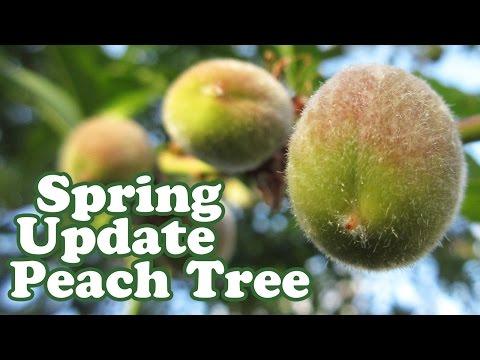 Peach Tree Update - Growing Peaches Fruits Plant - Dwarf Fruit Trees - Organic Gardening - Jazevox