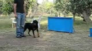 Rottweiler Controlled Attack - Trained @ Mmk Cairo