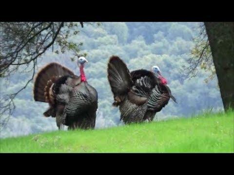 California Spring Turkey Hunting