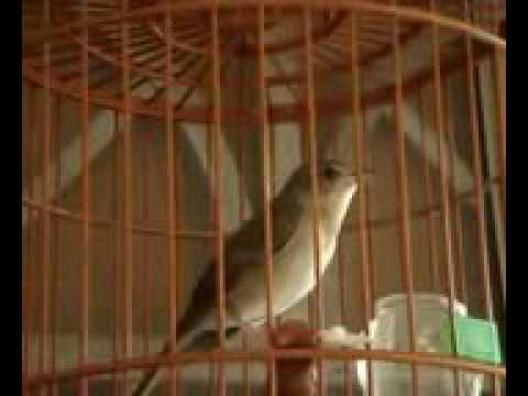 Masteran Burung Sikatan Londo drodot Gacor - YouTube af830a8726