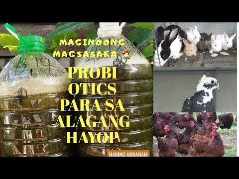 Homemade Probiotic para sa alaga nating rabbit, manok, kalapate, itik etc.