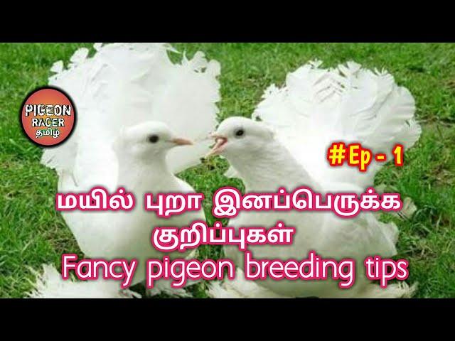 ????? ???? ??????????? ??????????? | Episode -1 | Fancy pigeon breeding tips