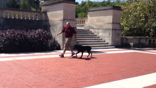 Advanced Off Leash Obedience Rottweiler Protection Trained Guard Dog Cee Lo