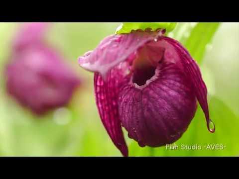 Венерин башмачок крупноцветковый. Large-flowered cypripedium