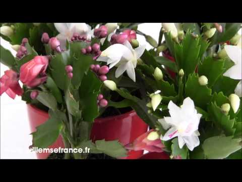 Cactus de Noël Collection rose blanc orange Willemse from YouTube · Duration:  1 minutes 13 seconds