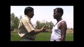 Final top dressing of fertiliser in paddy cultivation Odia VARRAT Odisha