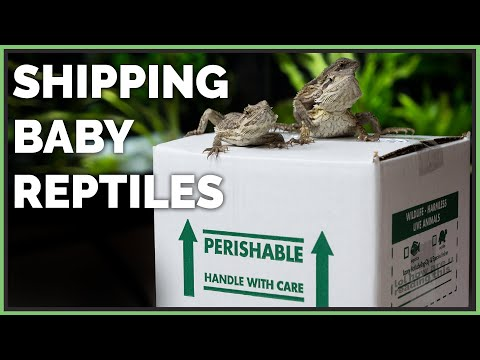 Packing And Shipping Lots Of Baby Reptiles!