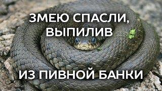 Змею спасли, выпилив из пивной банки