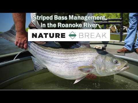 Striped Bass In The Roanoke River