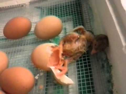 Chick Hatches at Webutuck Elementary School