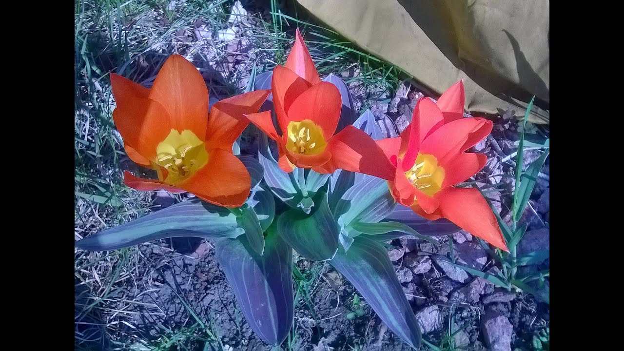 Fall Flower Bulbs To Plant For Spring Youtube