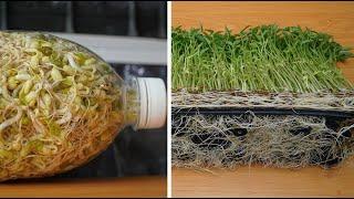 Mầm đậu xanh, mỗi ngày một loại | Green bean sprouts, one type per day