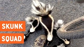 Family of Skunks Says Hello | Friendly Skunks