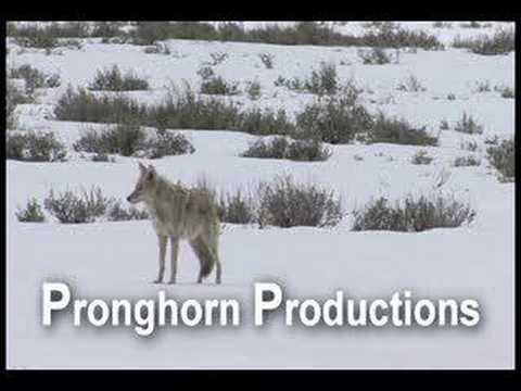 Coyote Howling and Yipping in the Winter at Yellowstone NP