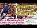Cara Mendongkrak Emosi Kacer Agar Fighter Di Perlombaan  Mp3 - Mp4 Download