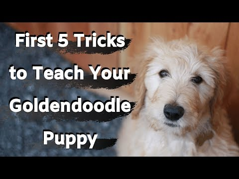 Goldendoodle Puppy Training (First five tricks to train your Goldendoodle)
