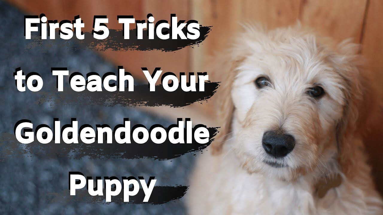 Goldendoodle Puppy Training First Five Tricks To Train Your