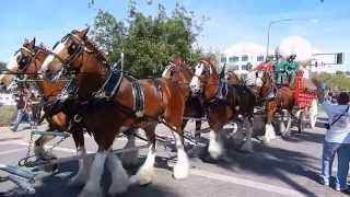 Budweiser Clydesdales in Chandler, Arizona with Ozzie Smith. Commercial Shoot #3. Full 1080p HD.
