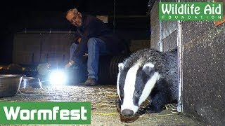 Video Baby badgers first taste of worms! (Wormfest 2017) download MP3, 3GP, MP4, WEBM, AVI, FLV September 2017