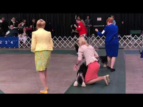 2019-06-22 Löwchen All Breed Judging Henrietta NY WNY Cluster Dog Show Day 2-Regional Specialty