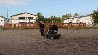 Broholmer Conda karhutestissä 15.9.2013 Järvenpäässä