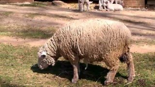Lambs and Sheep in Holmdel