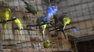 Первые шаги к размножению, попугаи и канарейки.