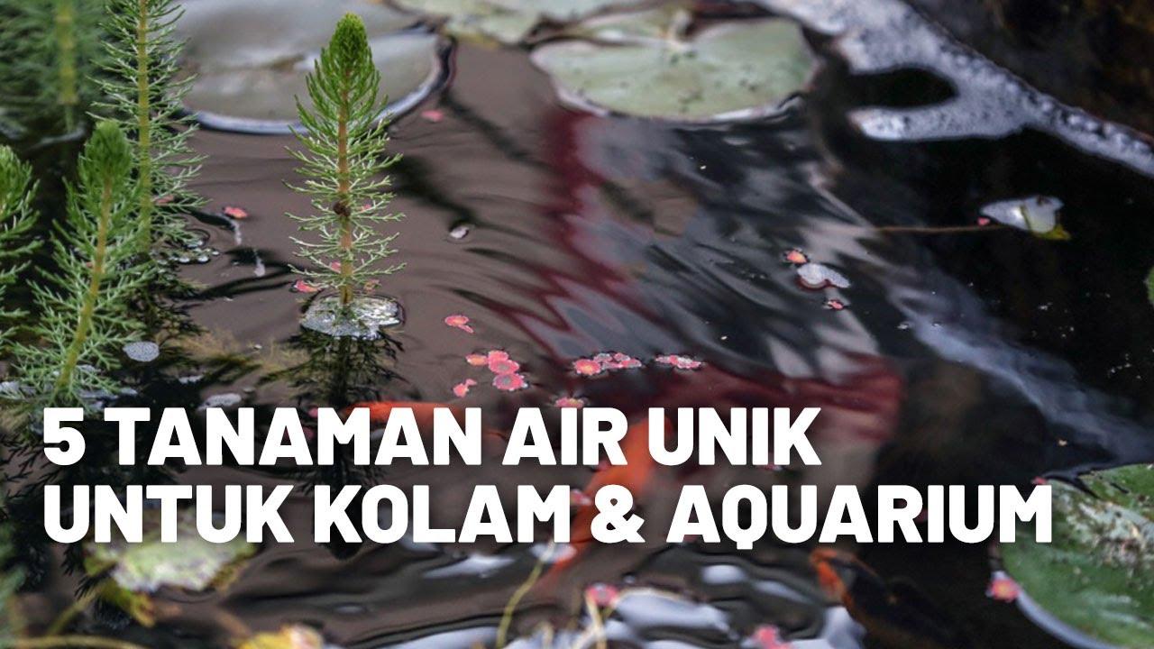5 Tanaman Hias Unik Untuk Kolam Ikan Aquarium Youtube Tanaman untuk kolam ikan