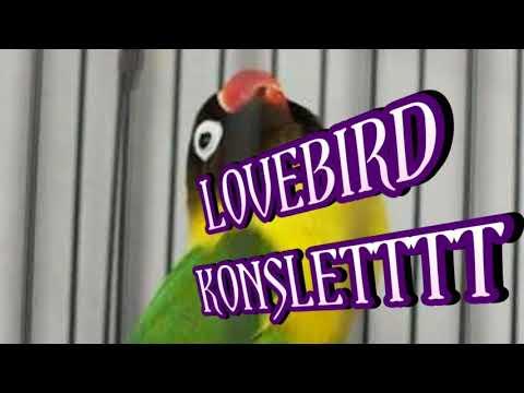 Suara Lovebird Konslet Parah