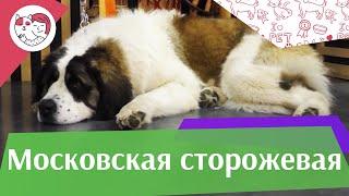 Московская сторожевая на ilikepet. Особенности породы, уход