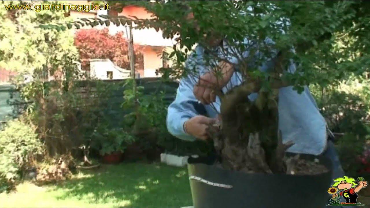 Potare Il Ficus Elastica bonsai potatura - ficus - come potare i bonsai