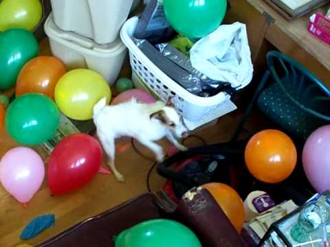 Jack Russell Balloon drop