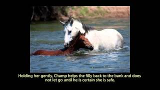 Salt River Wild Horses - Champ, Wild Stallion Rescues Filly From Drowning