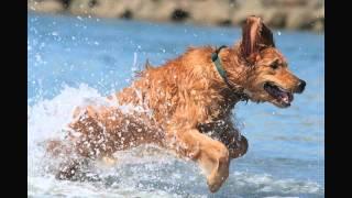 funny dogs golden retrievers
