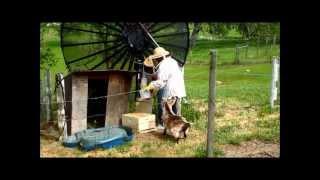 Beekeeping Goat Gets Stung