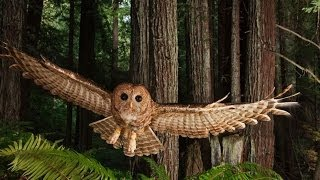 Video Northern Spotted Owl presented by Lowell Diller download MP3, 3GP, MP4, WEBM, AVI, FLV November 2017
