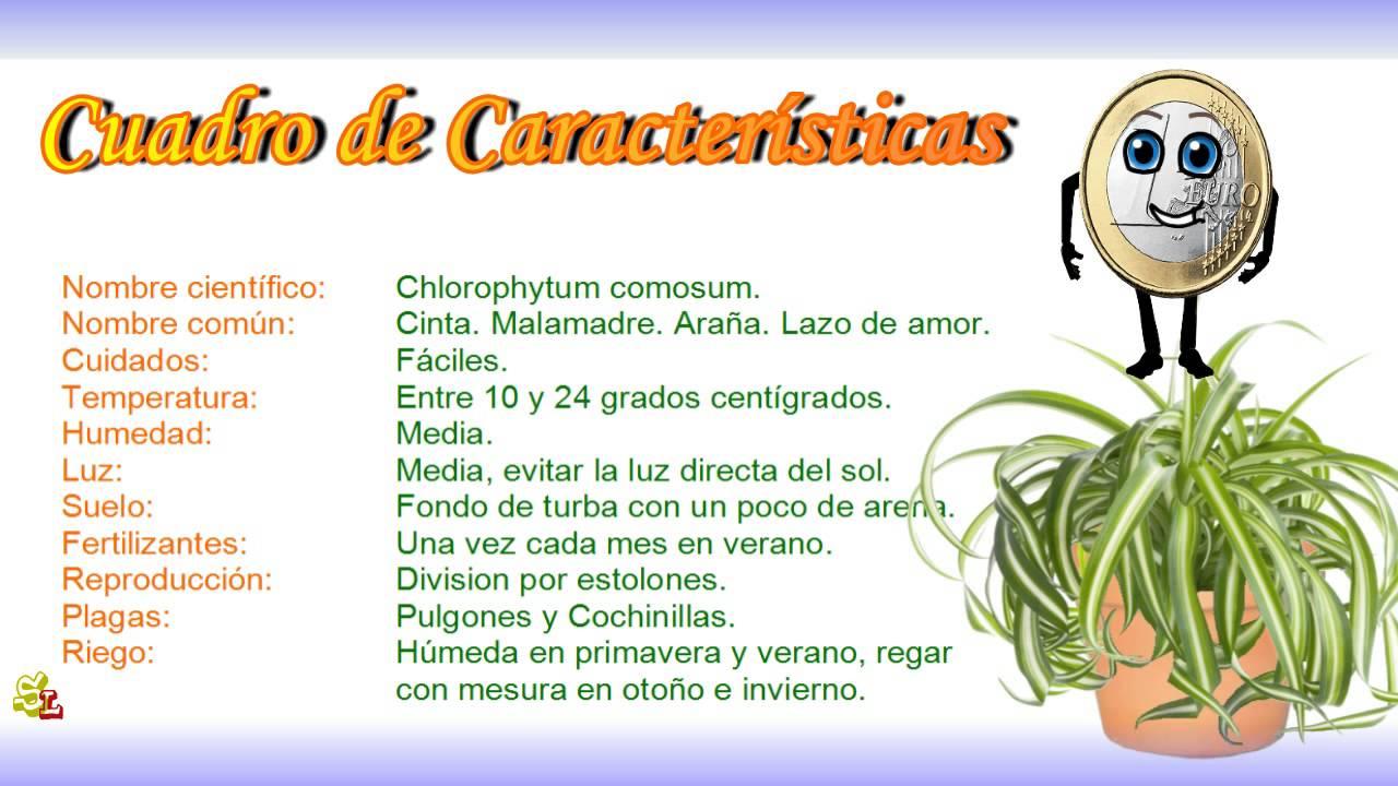 Chlorophytum comosum cinta malamadre ara a lazo de amor - Plantas de interior cintas ...