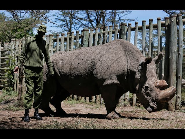 The rhino's name was Sudan, and he was euthanized after an infection left him no longer able to stand. (The Canadian Press)