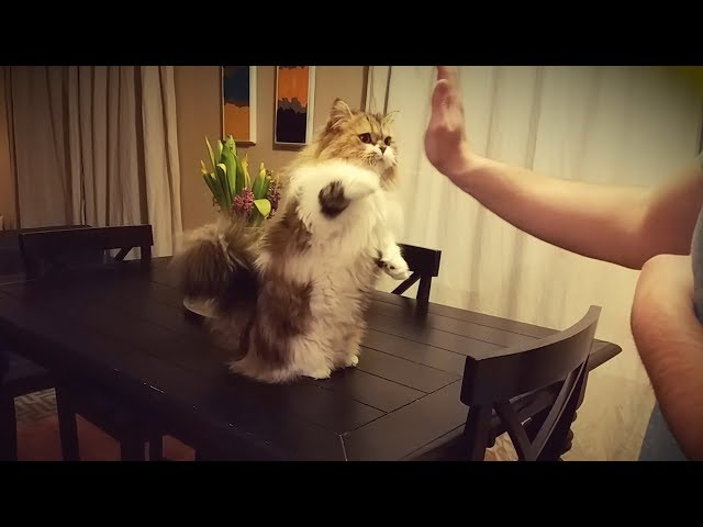 CAT GIVES HIGH FIVES BEFORE GOING TO BED ??️?