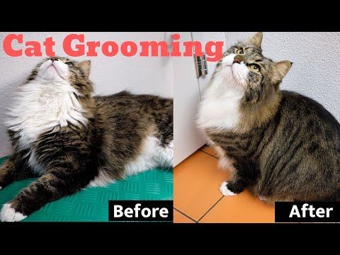 Cat Grooming: Siberian cat taking a bath, cleaned and blow dried.