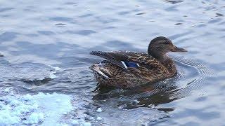 Салдинская Серая Шейка. На реке Салда зимует утка