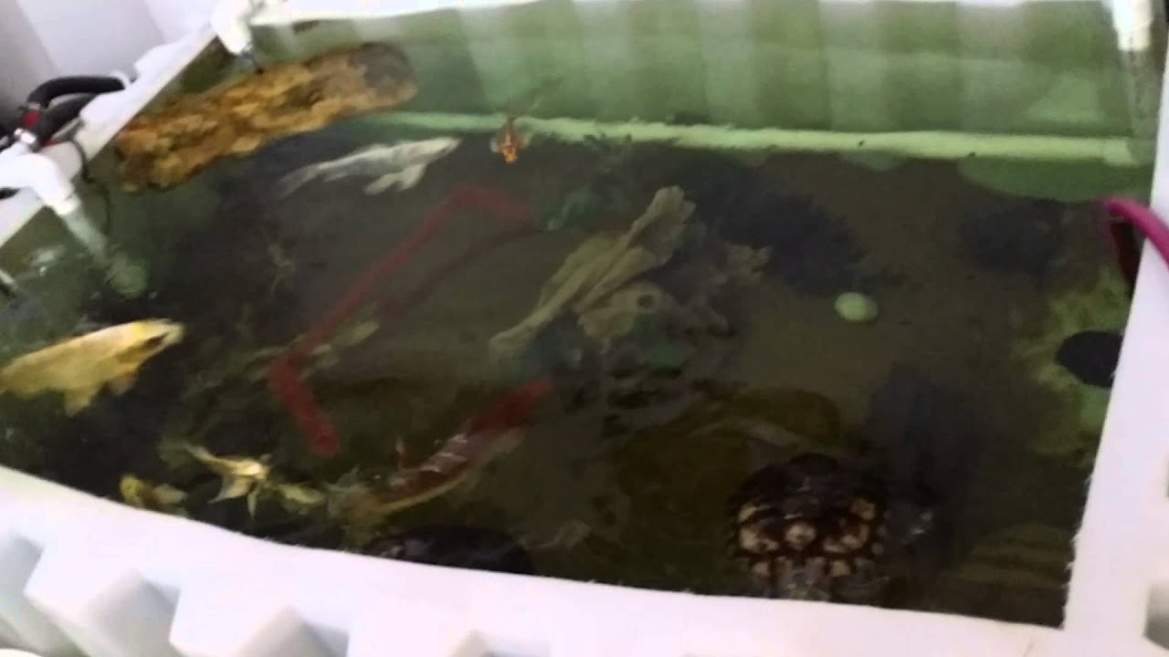 300 gallan tank 200 gallon koi pond youtube for Koi pond gallons