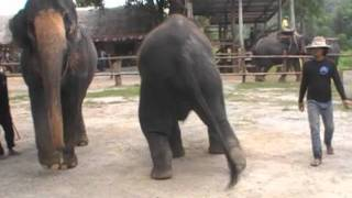 Прикольно и весело.Шоу слонов Таиланд.