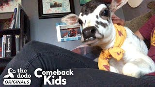 this-perfect-little-baby-is-called-a-zebu-the-dodo-comeback-kids
