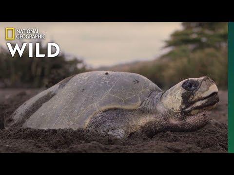 Sea Turtles Nest In Costa Rica   Nat Geo WILD