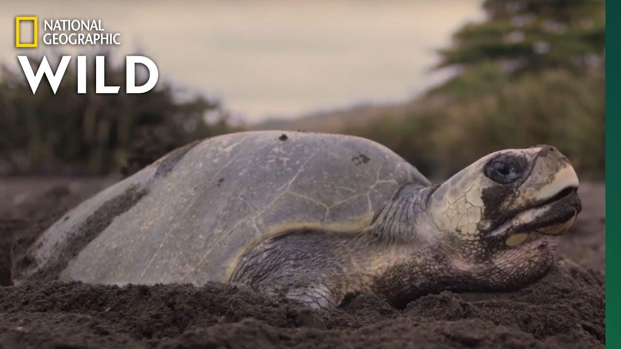 A Mass Synchronized Nesting Event | Jaguar Beach Battle