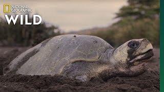 A Mass Synchronized Nesting Event   Jaguar Beach Battle