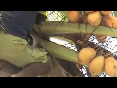 Climb For Coconut Juice In Tarawa / Kiribati ... 20/02/13