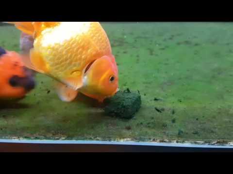 Feeding frenzy - homemade spirulina gel food